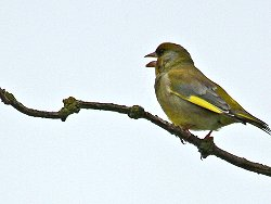 Greenfinch, singing near the Dragon Stones