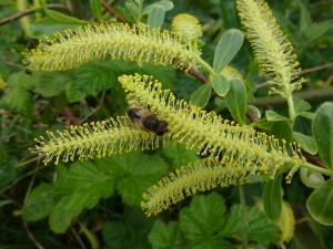 Male willow catkin with bee