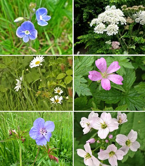 Clockwise from top left: Bird's Eye Speedwell, Hogweed, probable French Cranesbill, Cuckoo Flower (or Lady's Smock), Meadow Cranesbill, Ox Eye Daisy