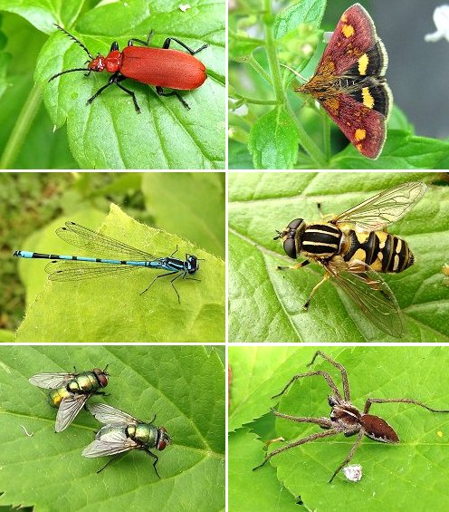Clockwise from top left: Cardinal Beetle, Mint Moth (a tiny micro moth), Hover fly (Helophilus pendulus), Nursery Web Spider), Greenbottle flies, Azure Damselfly