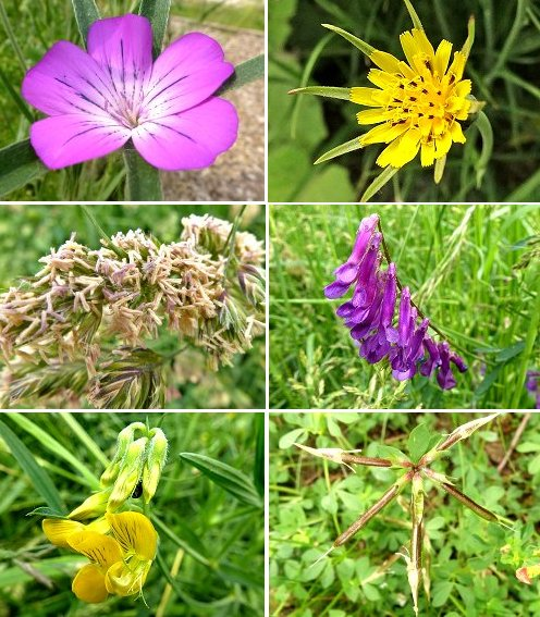Clockwise from top left: Corncockle, Goats Beard, Tufted Vetch, Birdsfoot Trefoil seed pods, Meadow Vetchling, Cock's Foot flowers (probably)