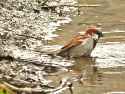 House Sparrow, bathing in Tang Hall Beck