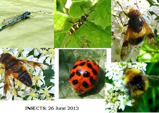 From top left, clockwise: Azure Damselfly, Wasp Beetle, Pellucid Hoverfly (Volucella pellucens), Early Bumblebee (Bombus pratorum), Harlequin Ladybird, Tapered Dronefly (Eristalis pertinax)