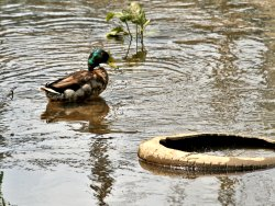 Mallard & rubbish on Tang Hall Beck - unfortunately the latter is all too common.