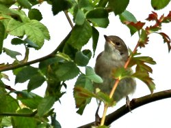 One of the two Whitethroats near the Dragon Stones