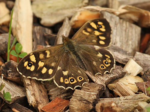 Speckled Wood butterfly - April 2012.