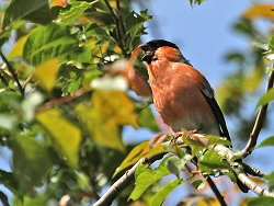 Bullfinch (male) singing next to the Environmet Centre