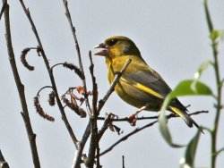 Greenfinch, singing near the Envoronment Centre