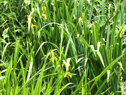 Yellow Flag (Iris) in Osbaldwick Beck