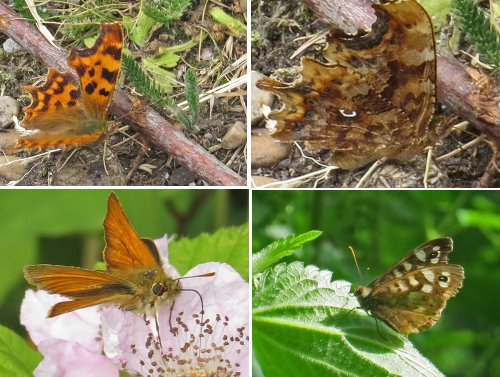 Clockwise from top left: Comma butterfly, underwing of Comma, showing the small white mark which gives it its name, Speckled Wood, Small Skipper