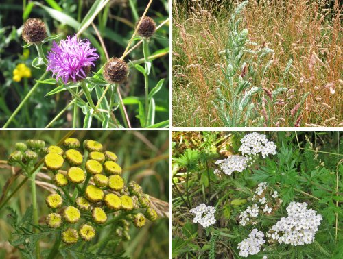 Clockwise from top left: Common Knapweed, Mugwort, Yarrow and Tansy
