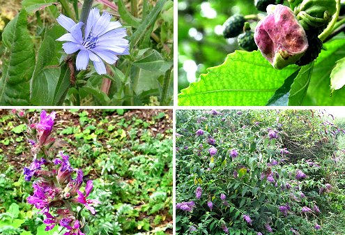 Clockwise from top left: Chickory, Alder fungal gall, Buddleia on Tang Hall Beck Cycle Track, Purple Loosestrife