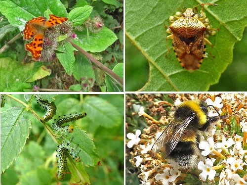 From top left, clockwise: Comma butterfly, Parent Bug with eggs, White-tailed Bumble Bee, Large Rose Saw-fly larva