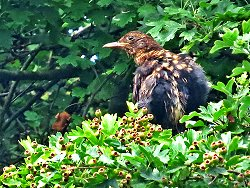 Immature Blackbird, moulting into adult plumage