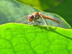 Common Darter dragonfly at the Environment Centre pond