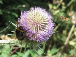 Teasel head with Bumble Bee - and Hoverfly approaching!