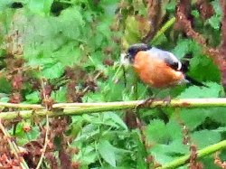 Male Bullfinch near the Sluice Bridge, guarding an immature bird which was bathing in the beck