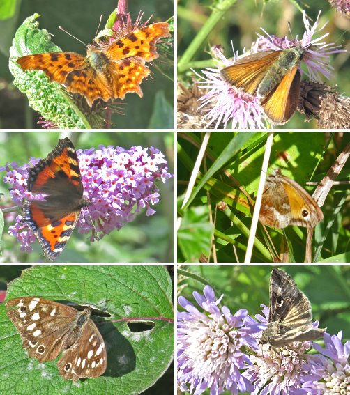 Clockwise from top left: Comma, Small Skipper, Gatekeeper, Silver Y Moth, Speckled Wood, Small Tortoiseshell