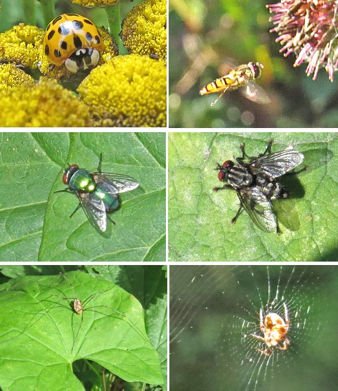 Clockwise, from top left: Probable Harlequin ladybird, Hoverfly sp. hovering, possible Tachinid fly, Spider sp., Harvestman, Greenbottle fly