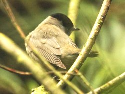 Adult male Blackcap