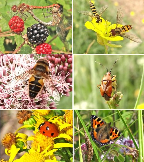 Clockwise from top left: Common Darters mating, Hoverflies: Sphaerophoria scripta above with Episyrphus balteatus below, Mirid bug, Small Tortoiseshell butterfly, Seven-Spot Ladybird, Drone Fly Eristalis pertinax
