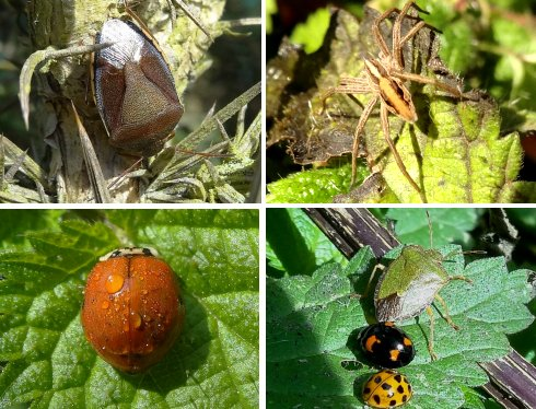 Clockwise from top left: Gorse Shieldbug, Nursery Spider, Green Shieldbug with Harlequin Ladybirds, Harlequin Ladybird - yet another colour variation