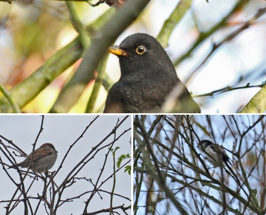 Clockwise from the top: Blackbird, Long-tailed Tit, House Sparrow