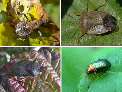 Clockwise from top left: Tree Damsel Bug, Green Shieldbug, Green Dock Beetle, Picromerus bidens (no common name)