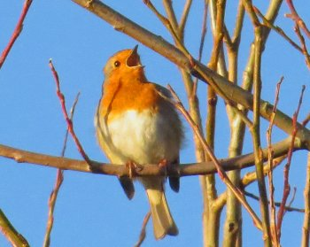 Singing Robin at St Nicks