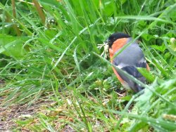 Bullfinch collecting nest material