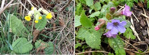 Cowslip (left) and Lungwort (right)
