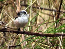 Long-tailed Tit carrying nesting material