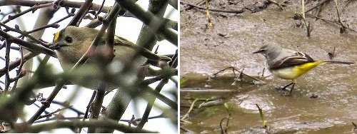 Goldcrest (left) and Grey Wagtail (right)