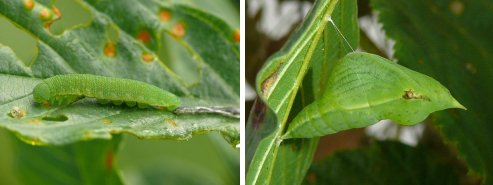 Brimstone butterfly caterpillar (left) and pupae (right)
