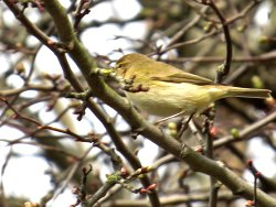 Singing Chiffchaff - near the Kingfisher Watchpoint on Tang Hall Beck