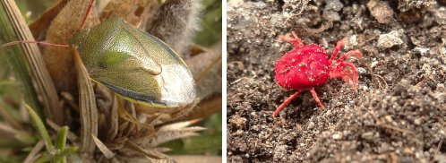(Left) Gorse Shieldbug (Right) Velvet Mite