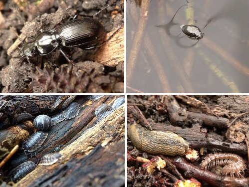 Clockwise from top left: Ground Beetle, Whirlygig Beetle, Netted Slug and Flat-backed Millipede, Pill Woodlouse