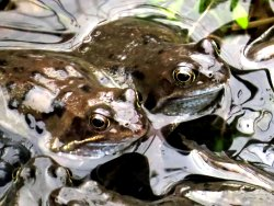 Common Frogs in the Environment Centre pond