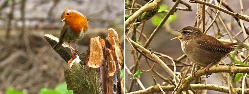 Robin (left) and a singing Wren (right)