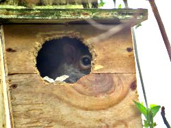 Grey Squirrel lurking in nest box by Osbaldwick Beck