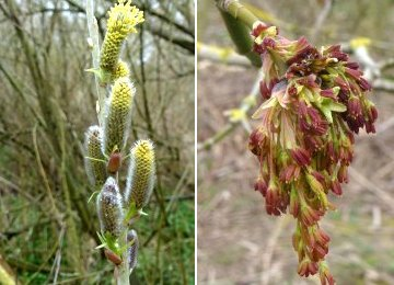 Willow catkins (left) and Box Elder flowers (right