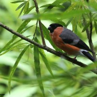 Bullfinch (by Ian Traynor)