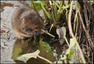 Water vole (photo by Ian Traynor, June 2011)