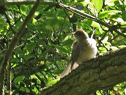 Juvenile Blackcap, St Nicks, August 2013