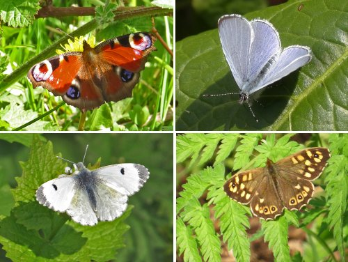 April Butterflies - clockwise from top left: Peacock, Holly Blue, Speckled Wood, Green-veined White