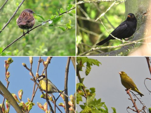 Clockwise from top left: Dunnock, Blackbird, Greenfinch, Great Tit