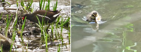 Water birds: Moorhen (left) and Mallard duckling (right)