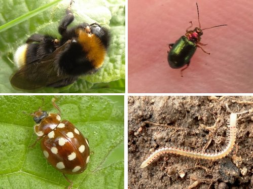 Clockwise from top left: Tree Bumblebee, Ground Beetle, Spotted Snake Millipede, Cream Spot Ladybird