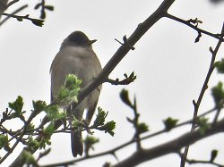 Blackcap: a difficult bird to see - even harder to photograph! But its song is really loud