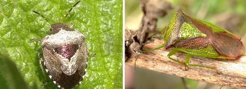 Shieldbugs: Left: Woundwort Shieldbug. Right: Hawthorn Shieldbug